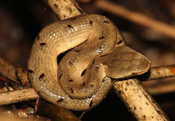 Top 10 Non Venomous Snakes in India: Thinkpedia