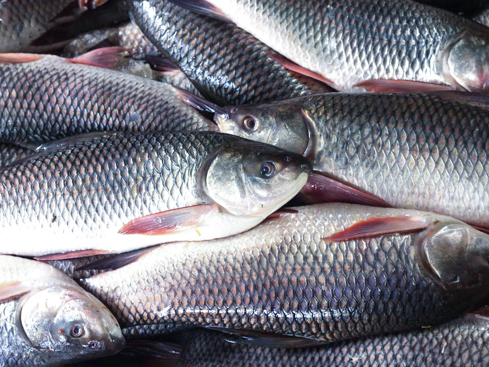 Popular Freshwater Fish Species of Indian Rivers: Thinkpedia